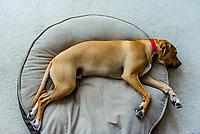 7 month old Rhodesian ridgeback/lab mix puppy, Littleton, Colorado USA.