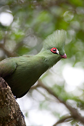 Green Turaco (Musophagidae)  perching on a branch, South Africa