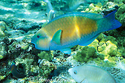 bullethead parrotfish or uhu, Scarus sordidus, <br /> terminal male phase, <br /> Kahaluu Beach Park, Kona, Hawaii, USA ( Pacific )