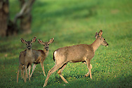 Black-tailed Mule deer doe and fawn in early spring, Adelaida Road, Paso Robles San Luis Obispo County, California