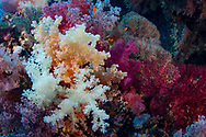 Soft Corals- Alcyonaire (Alcyonacea) of Red Sea, Egypt.