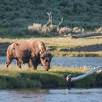 An American Bison (Bison bison) grazes on an island in the Madison River in Yellowstone National Park, Wyoming.