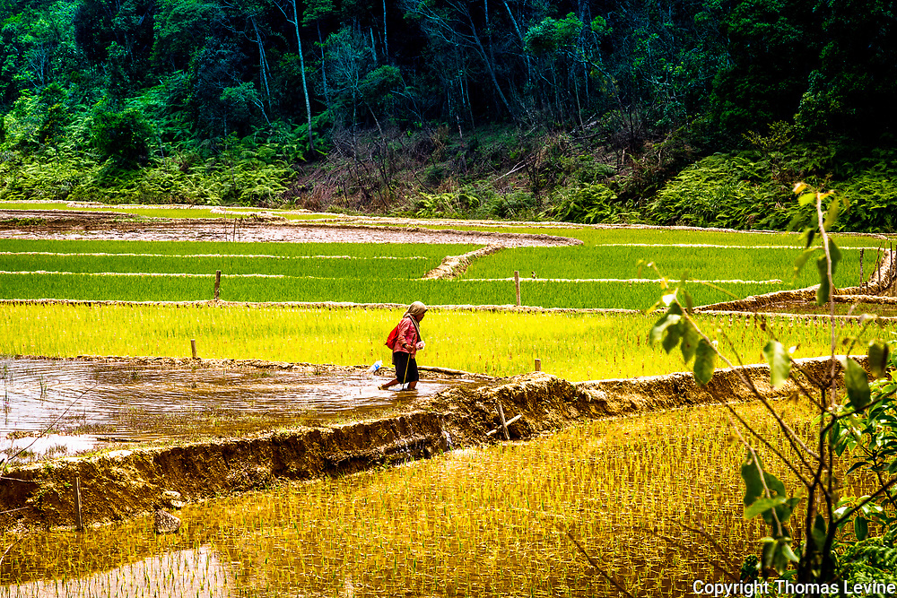 Vietnamese Lady Farmer in a rice paddy.