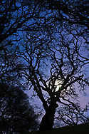 Spooky evening - Barren oak tree branches in evening by the light of the full moon, Briones Regional Park, Contra Costa County, California