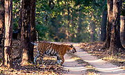 Bengal tiger (Panthera tigris tigris) sent marking in the forest of Kanha National Park, Madhya Pradesh, India.