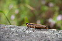 This interesting medium-sized wetland grasshopper can be found across most of Eastern North America as far north as Ontario. As part of the Acrididae taxonomical family, it is related to all of the grasshoppers that are best known as swarming grasshoppers - aka locusts. This one was found and photographed between Immokalee and Naples, Florida.