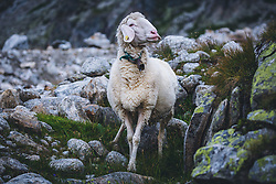 THEMENBILD - ein Schaf auf einer Bergwiese naehe der Olpererhuette, aufgenommen am 25. August 2019 in den Zillertaler Alpen, Österreich // a sheep on a mountain meadow near the Olpererhuette, Austria on 2019/08/25. EXPA Pictures © 2019, PhotoCredit: EXPA/ Dominik Angerer