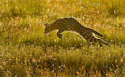 Serval cat pouncing on prey, Serengeti National Park, Tanzania.