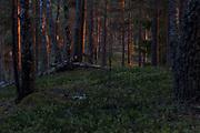 On sides of wooded dunes the setting sun colours scots pines (Pinus sylvestris) red, Kemeri National Park (Ķemeru Nacionālais parks), Latvia Ⓒ Davis Ulands | davisulands.com