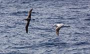 Grey-headed and wandering albatrosses, Drake Passage
