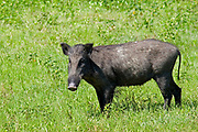 Female wild boar standing in open ground looking at the camera, Yala National Park, Sri Lanka