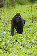 A female Celebes Crested Macaque ( Macaca nigra ) walks into view through a carpet of green vegetation, Sulawesi, Indonesia
