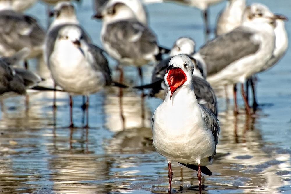 Laughing Gull in winter plumage on Fernandina Beach, Florida on the Atlantic coast.