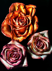 A top-down view of a trio of roses on black.