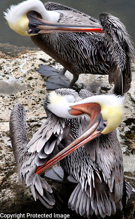 Two Brown Pelicans groom themselves on a rock near the mouth of the San Lorenzo River in downtown Santa Cruz, California.<br /> Photo by Shmuel Thaler <br /> shmuel_thaler@yahoo.com www.shmuelthaler.com