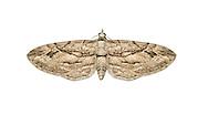 70.159 (1855)<br /> Cypress Pug - Eupithecia phoeniceata