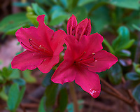 Volunteer Azalea Blooms. Backyard Spring Nature in New Jersey. Image taken with a Fuji X-T1 camera and 60 mm f/2.4 macro lens (ISO 200, 60 mm, f/16, 1/6 sec). For years the deer have decimated my Azalea plants during the winter. This spring I removed the old dead plants. Yesterday, I noticed these blooms only a couple of inches off the ground on some volunteer Azalea plants. If you look close in the left flower, there is a caterpillar looking for lunch.