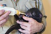 Tasmanian Devil<br /> Sarcophilus harrisii<br /> Wade Anthony, Managing Director of Devils at Cradle, bottle-feeing four-month old baby devil <br /> Devils at Cradle, Cradle Mountain National Park, Tasmania, Australia<br /> *Captive- captive breeding program