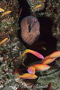 masked moray, Gymnothorax breedeni, & peach anthiases, Pseudanthias dispar,, at Eel Pit dive site, Christmas ( Kiritimati ) Island, Line Islands, Republic of Kiribati ( Central Pacific )