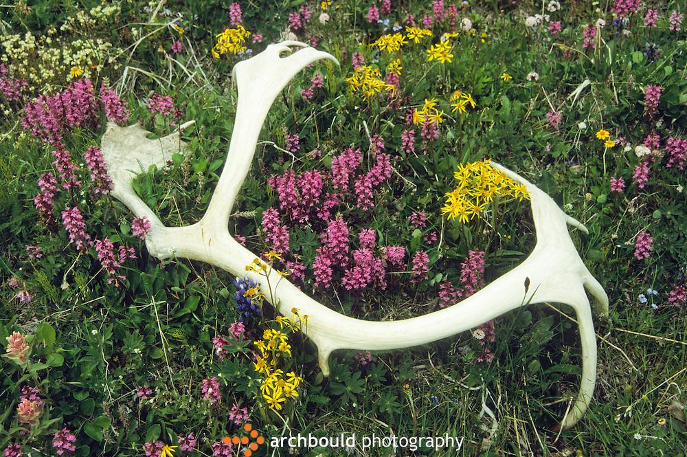 Caribou antler among Yukon wild flowers
