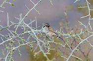 A Black-throated Sparrow (Amphispiza bilineata) perched on graythorn (). Tucson