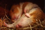 Deutschland, DEU, Cuxhaven: Schlafender männlicher Goldhamster (Mesocricetus auratus) liegt in seinem Nest aus Heu.   Germany, DEU, Cuxhaven: Golden Hamster (Mesocricetus auratus) male, sleeping in its subterranean sleeping nest made out of hay.  