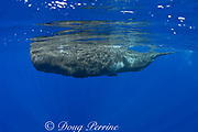 baby sperm whale calf ( Physeter macrocephalus ) Endangered Species<br /> Kona Hawaii ( Central Pacific Ocean )