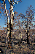 Bushfire aftermath, Canberra Jan 2003, Bullen Range National Reserve, Australia