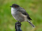 The fire-eyed diucon (Xolmis pyrope) is a passerine bird of South America belonging to the tyrant flycatcher family Tyrannidae. The eyes are bright coral-red, for which the bird is named. The upperparts are mainly plain grey. The underparts are pale grey with white throat and undertail-coverts. It is found in central and southern Chile, southwestern Argentina, and Tierra del Fuego. Location: Hosteria Pehoe, Lago Pehoe, Ultima Esperanza Province, Chile, Patagonia, South America. Torres del Paine National Park is listed as a World Biosphere Reserve by UNESCO.