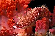 nudibranch, or sea slug, <br /> Chromodoris reticulata or <br /> Chromodoris tinctoria, on soft coral, <br /> Gato Island Marine Reserve, off <br /> Cebu Island, Philippines