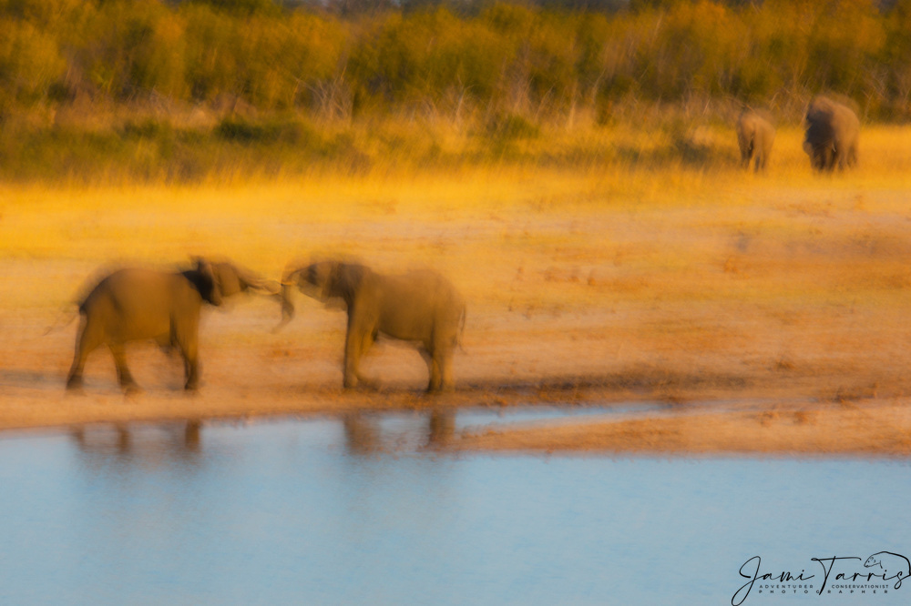 A motion-blur of two young bull African elephants (Loxodonta africana)  playing and fighting at a water hole, Hwange National Park, Zimbabwe,Africa