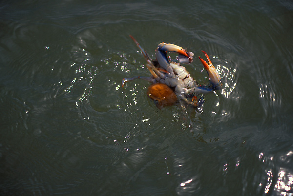 Stock photo of a female blue crab (Callinectes sapidus) in the water