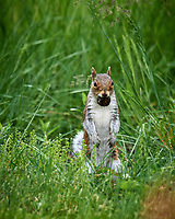 Squirrel with a Black Wallnut.  Image taken with a Nikon D5 camera and 600 mm f/4 VR telephoto lens.