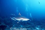 divers and silvertip shark, Carcharhinus albimarginatus, accompanied by rainbow runners, Elagatis bipinnulata, Burma Banks, Myanmar ( Andaman Sea, Indian Ocean )