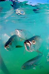 tarpons, Megalops atlanticus, and crevalle jack, Caranx hippos, Islamorada, Florida Keys National Marine Sanctuary, Atlantic Ocean