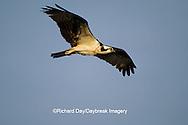 00783-01015 Osprey (Pandion haliaetus) female in flight    FL