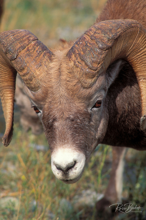 Close-up of a bighorm ram (Ovis canadensis), Jasper National Park, Alberta, Canada