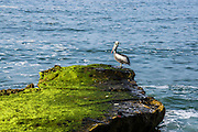 Pelican on a rock. Photographed on the Pacific coast Peru