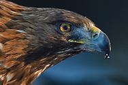 Portrait of a Golden Eagle bird, Aquila chrysaetos, adult male, Kalvtrask, Vasterbotten, Sweden