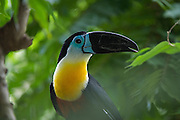 Channel-billed Toucan (Rhamphastos vitellinus)<br /> Zoo<br /> Georgetown<br /> GUYANA<br /> South America