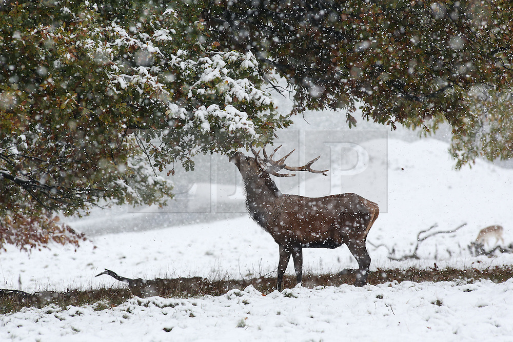 © Licensed to London News Pictures. 09/11/2016. Ripon, UK. A red deer stag takes leaves from a tree in the heavy snowfall at Fountains Abbey near Ripon in North Yorkshire. The Met Office has issued a severe weather warning as Scotland and much of the North of England has seen heavy snowfall. Photo credit : Ian Hinchliffe/LNP
