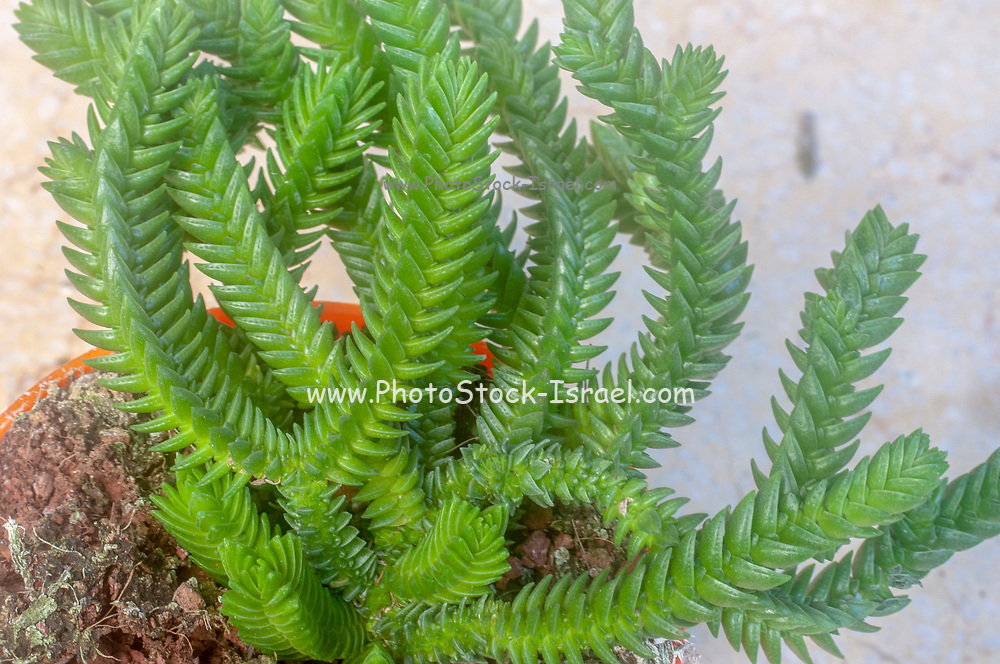 Crassula muscosa, (synonyms Crassula lycopodioides and Crassula pseudolycopodioides), is a succulent plant native to South Africa and Namibia, belonging to the family of Crassulaceae and to the genus Crassula. It is a houseplant grown worldwide and commonly known as rattail crassula, watch chain, lizard's tail, zipper plant and princess pine. Photographed in Israel in January