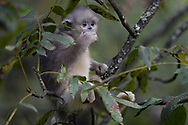 Young Yunnan, or Black Snub-nosed monkey, Rhinopithecus bieti, sitting in a tree in Ta Cheng Nature reserve, Yunnan, China
