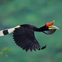 Asian Hornbills