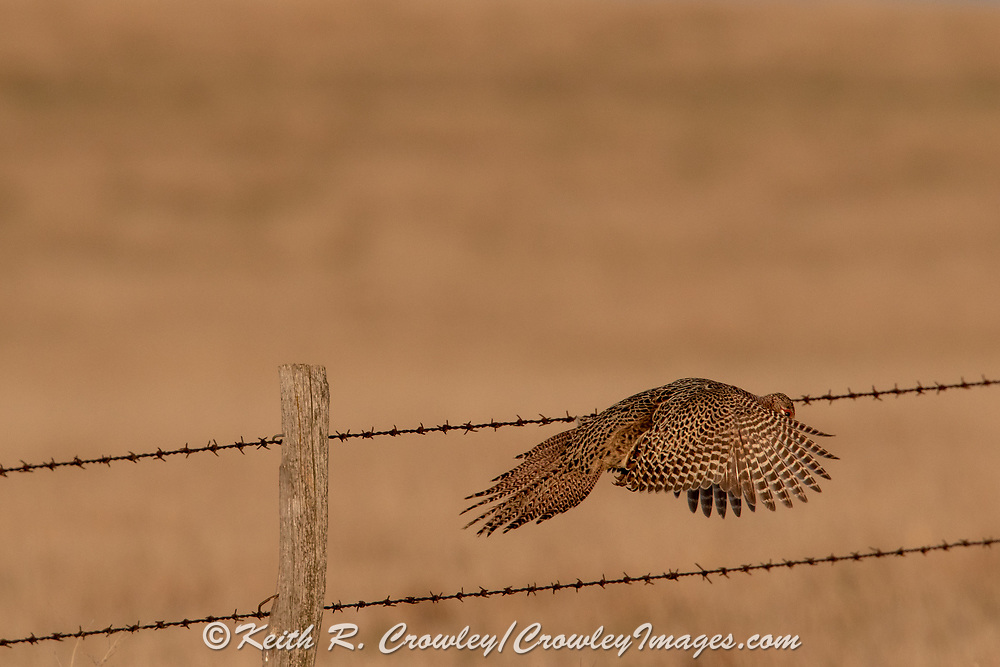 Hen pheasant leaping from a barb-wire fence post.