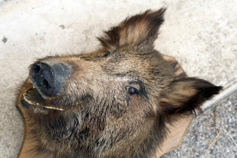 stuffed wild boars head