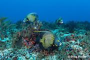 French angelfish, Pomacanthus paru, Playa del Carmen, Cancun, Quintana Roo, Yucatan Peninsula, Mexico ( Caribbean Sea )