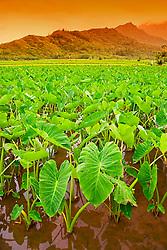 Taro or Kalo plant fields, Colocasia esculenta, (corms are mashed to make Hawaiian Poi), serving as Hawaiian waterbird sanctuary, Hanalei National Wildlife Refuge, Kauai, Hawaii