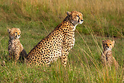Cheetah with cubs resting in the Serengeti, Tanzania