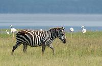 A Grant's Zebra, Equus quagga boehmi, walks past a group of Greater Flamingoes, Phoenicopterus ruber, on the shore of Lake Nakuru in Lake Nakuru National Park, Kenya